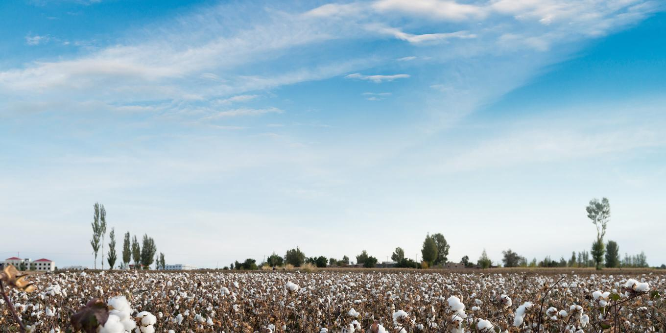US Cotton fields