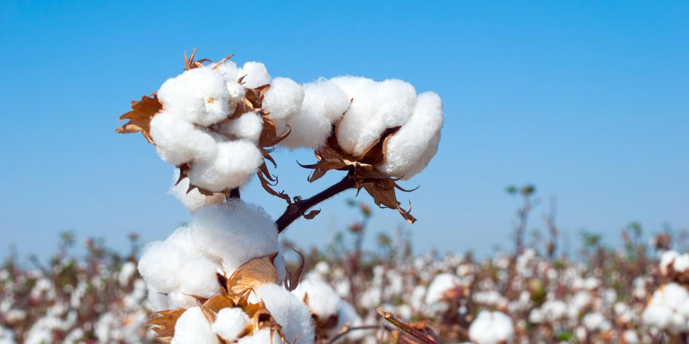 Raw Cotton in the field